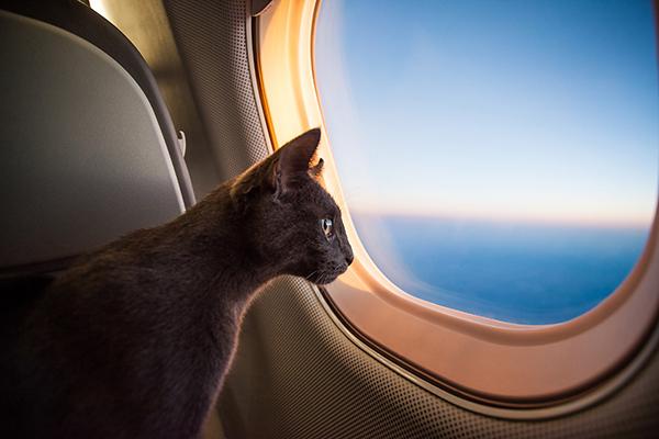 Kedileri Uçakta Taşımak